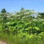 Будьте обережні – карантинні рослини!!!