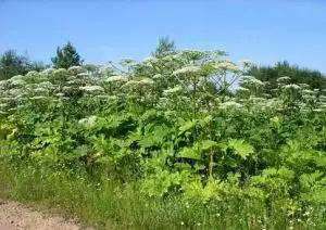 Будьте обережні — карантинні рослини!!!